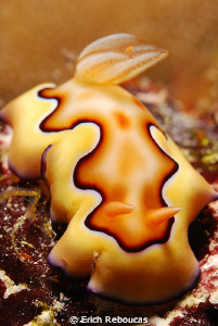 Chromodoris Coi, no cropping. by Erich Reboucas 